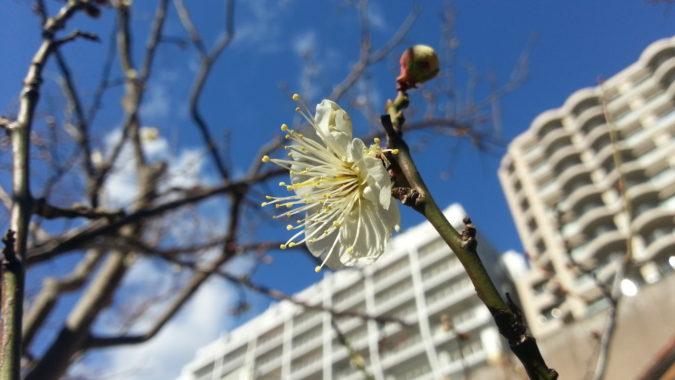中庭の『白梅』が咲き始めています。