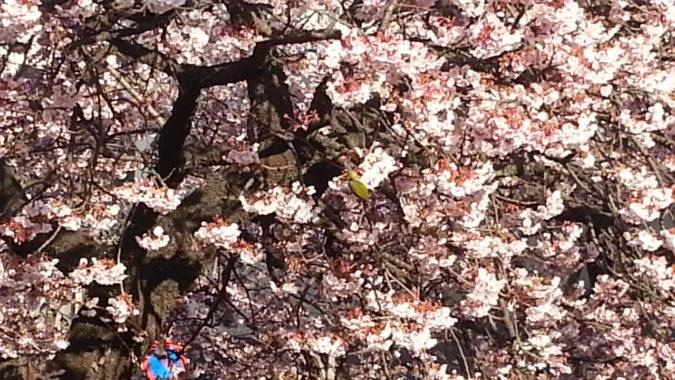 満開から散り始めです。~糸川あたみ桜まつり~2月9日
