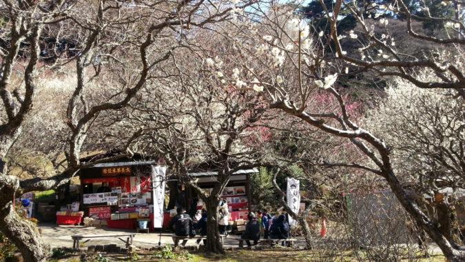 早咲きの梅が、満開です。~2月13日(火)熱海梅園梅まつり最新開花状況~