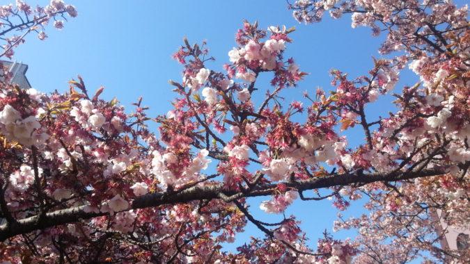 葉桜も・・・・・『糸川遊歩道のあたみ桜』2月17日