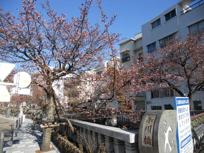 当館より徒歩5分◆第4回糸川桜まつり開催【1/25~2/16】