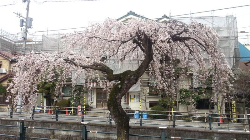『枝垂れ桜』の1本が満開になりました。~熱海芸妓見番前~