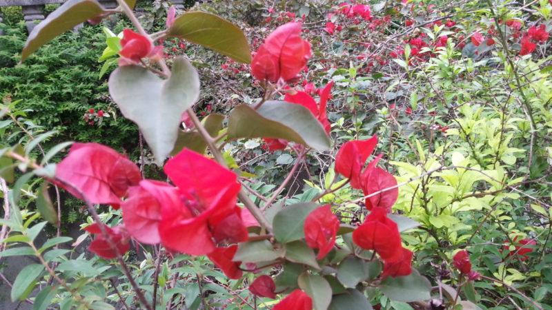 ブーゲンビリアが咲き始めました。~糸川遊歩道~