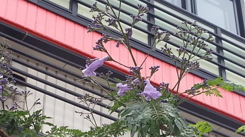 ジャカランダが開花し始めています。~国道135号下り沿い~