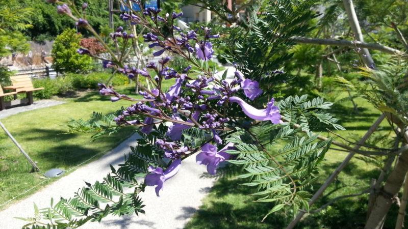 ジャカランダの開花が進んでします。~ジャカランダ遊歩道~