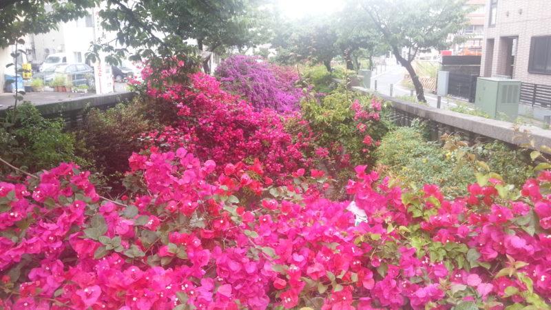 鮮やかなブーゲンビリアが糸川遊歩道で~6月7日(木)~