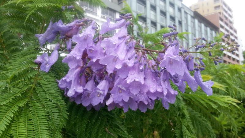 『ジャカランダ』の花が咲いていました。~ジャカランダ遊歩道~