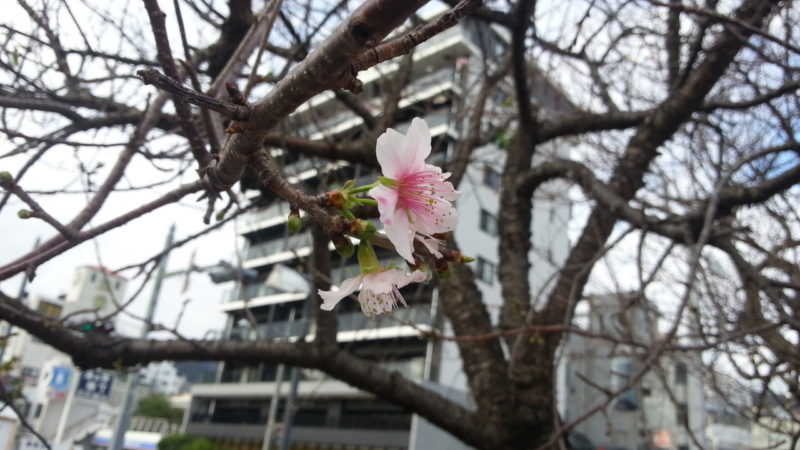 ヒマラヤ桜が咲き始めました。渚親水公園駐車場入り口。