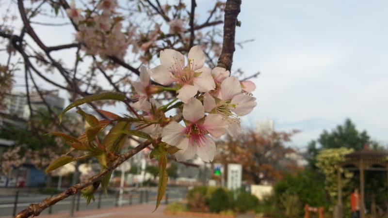 ヒマラヤ桜が、満開です。 渚親水公園入口。