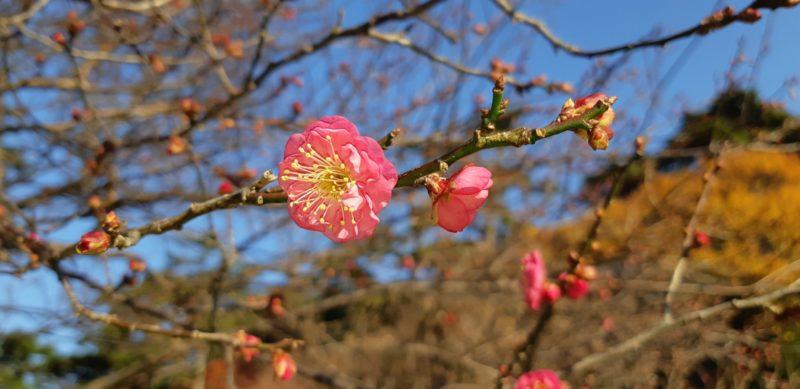 『熱海梅園』の梅の開花がすすんでいます。 12月21日撮影