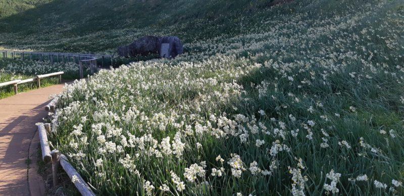 伊豆下田の爪木崎では、『第53回水仙まつり』が始まりました。