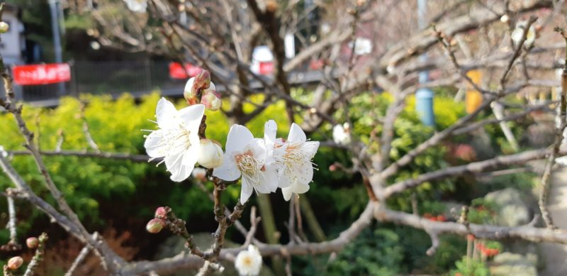 熱海梅園の梅の開花が進んでいます。(12月31日)AM11:00