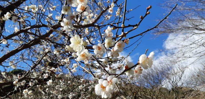 1月5日(土)「第75回熱海梅園 梅まつり」が始まりました。開花状況をスタッフブログでご案内していきます。