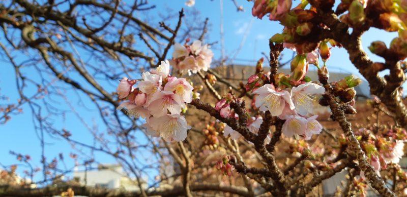 『あたみ桜』の開花が順調に進んでいます。~糸川遊歩道~1月9日