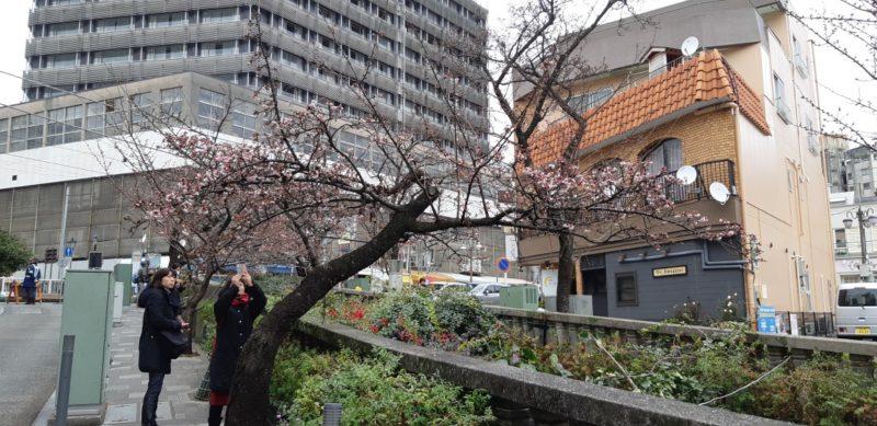 1月12日(土)『あたみ桜 糸川桜まつり』が開幕しました。