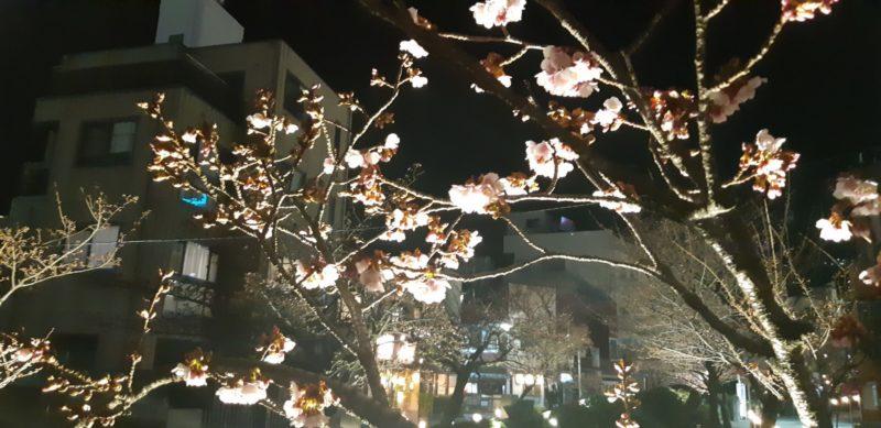 夜のライトアップの『あたみ桜 糸川桜まつり』です。