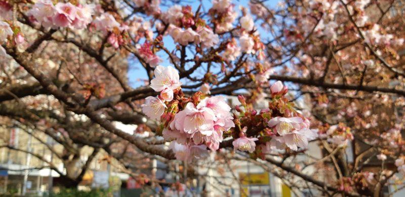 1月16日(水)今日の『あたみ桜』~糸川遊歩道沿い~