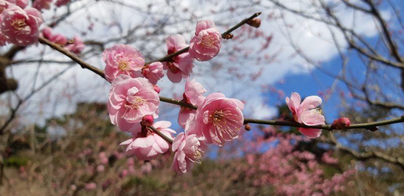1月18日(金)今日も「熱海梅園梅まつり」会場と糸川沿いの『あたみ桜』を見てきました。