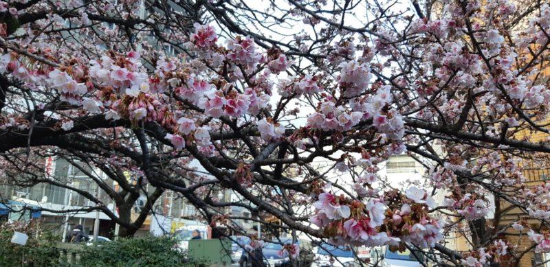 1月20日(日)『あたみ桜まつり』~糸川遊歩道~