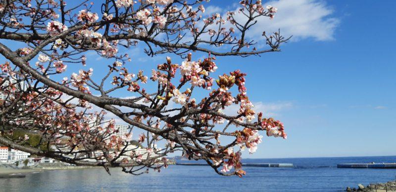 『釜鳴屋平七像』脇の「あたみ桜」も咲き始めています。 1月22日