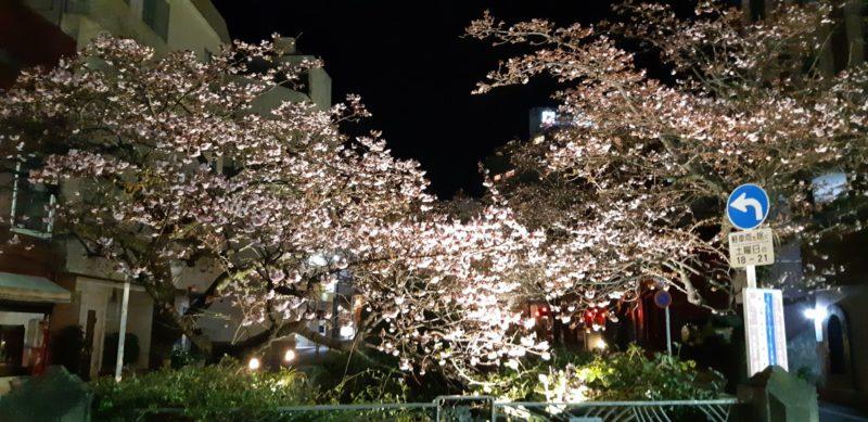 ライトアップされた『あたみ桜~糸川遊歩道~』