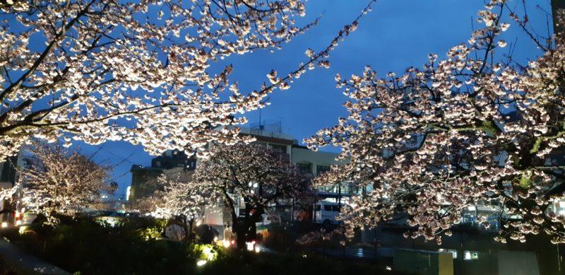 ライトアップが、17日(日)まで延長になりました。~あたみ桜(糸川遊歩道)~