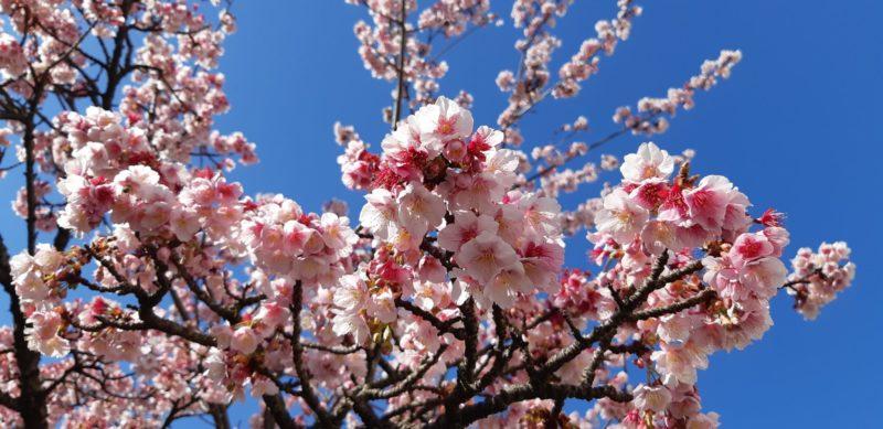 満開の糸川遊歩道の『あたみ桜』~2月3日(日)~
