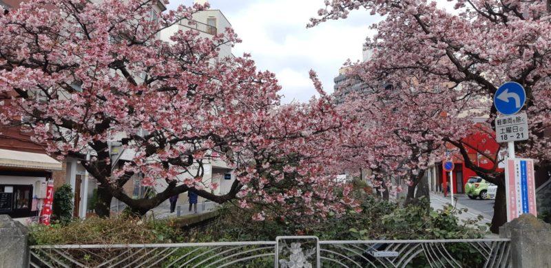 今朝も通りました。糸川遊歩道の『あたみ桜』