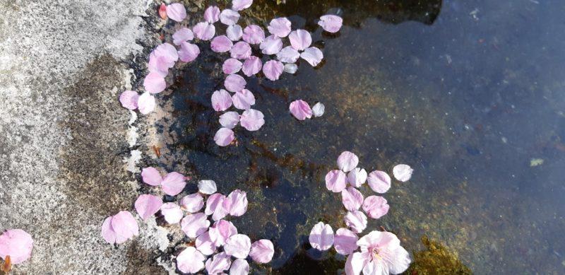 花吹雪の熱海温泉~糸川遊歩道沿いの『あたみ桜』~