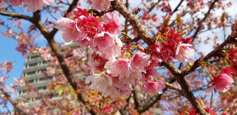 昨日で、『あたみ桜 糸川桜まつり』は終了しましたが・・・まだ桜は咲いています。