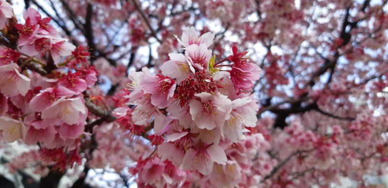 『花ひろば』のあたみ桜・・・・・・・2月15日(金)朝。