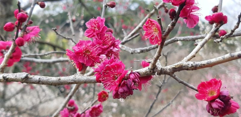 早咲きの梅が満開です。中咲きも咲き始めています。 2月17日(日)撮影~熱海梅園梅まつり~