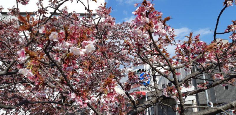 『あたみ桜糸川桜まつり』は、終わりましたが・・・・昨日の様子です。