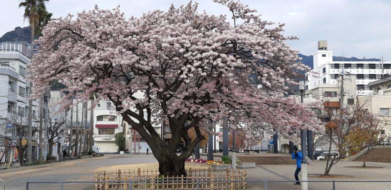 『大島桜』が満開です。~渚小公園~