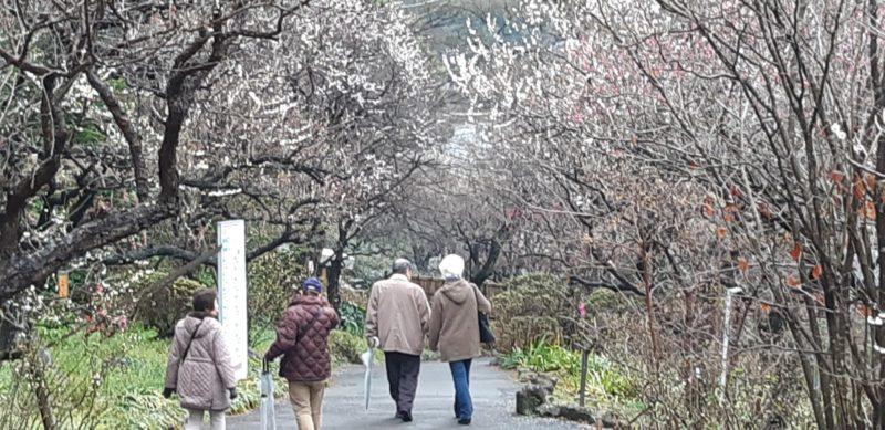 3月3日(日)で終了です。『第75回 熱海梅園 梅まつり』