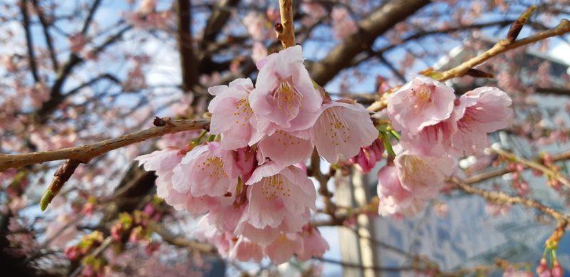 今日(3月2日)の『大寒桜(おおかんざくら)』
