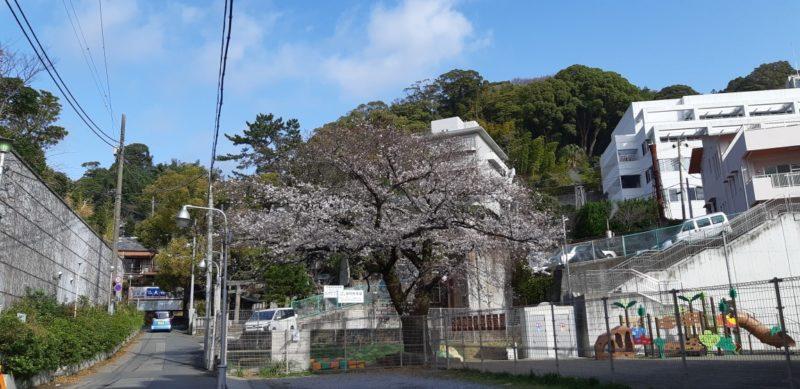 3月22日(金)大湯間欠泉前の『染井吉野』