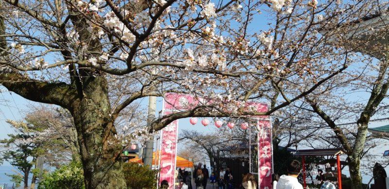 『熱海城桜まつり』の開花状況(3月26日PM15:30)
