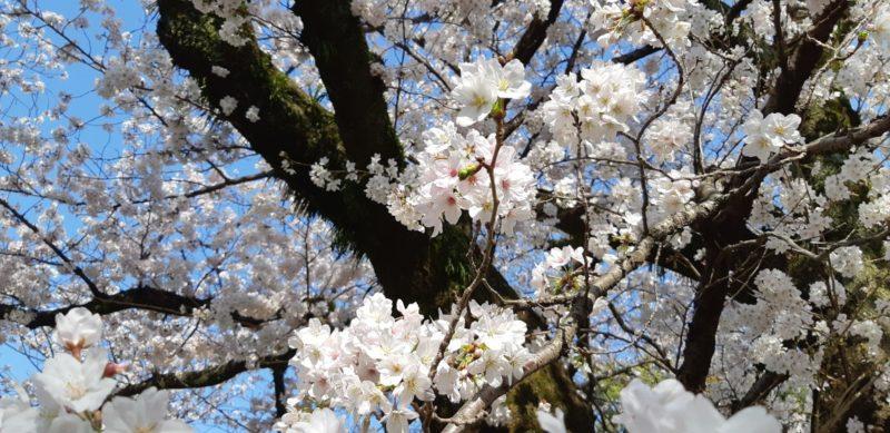満開の『染井吉野』~大湯間欠泉前~ 3月27日(水)