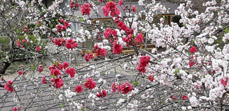 満開になった『源平花桃(ハナモモ)』・・・・・熱海梅園