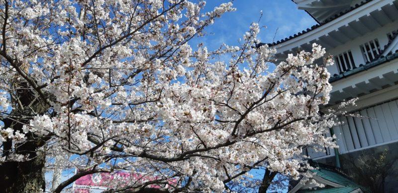 『熱海城桜まつり』開花状況・・・・・3月312日(日)