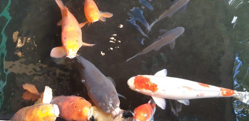 『鯉』と『こいのぼり』・・・・