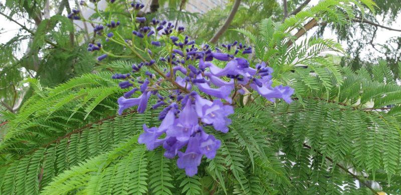 ジャカランダの花が咲いていました。~ジャカランダ遊歩道~9月23日