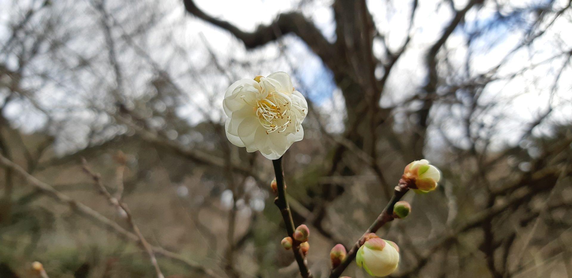 ポツポツの開花が進む『熱海梅園』の梅~12月25日撮影~