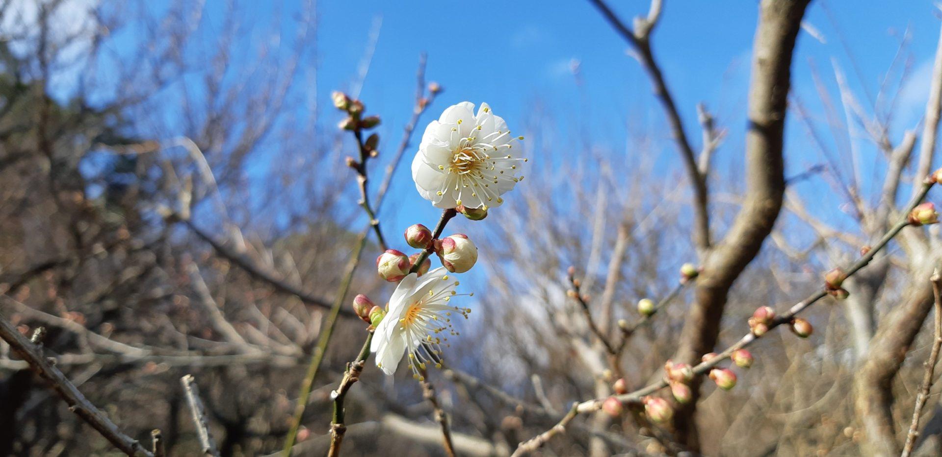 1月11日(土)『第76回熱海梅園梅まつり』と『第10回あたみ桜糸川桜まつり』が始まりました。