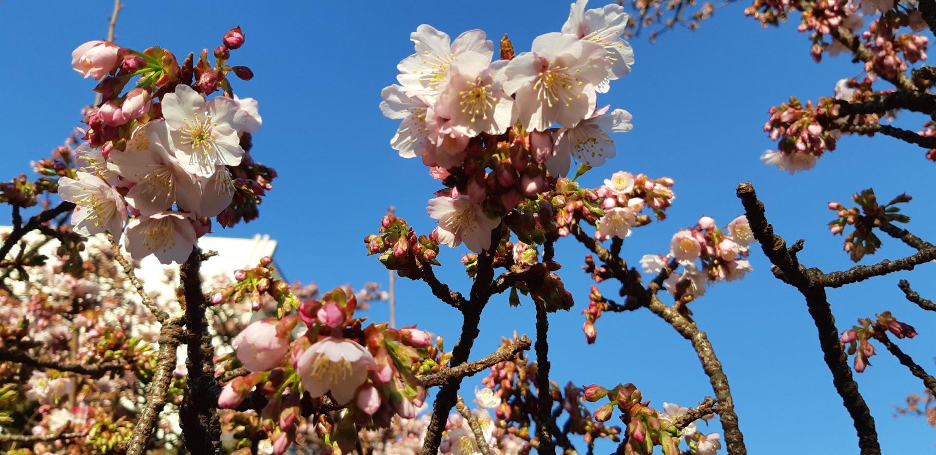 急速に開花が進んでいます。~あたみ桜 糸川桜まつり~