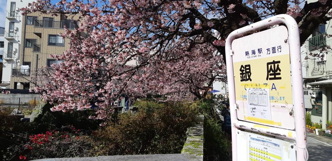 満開の『あたみ桜』糸川桜祭りの会場 1月25日