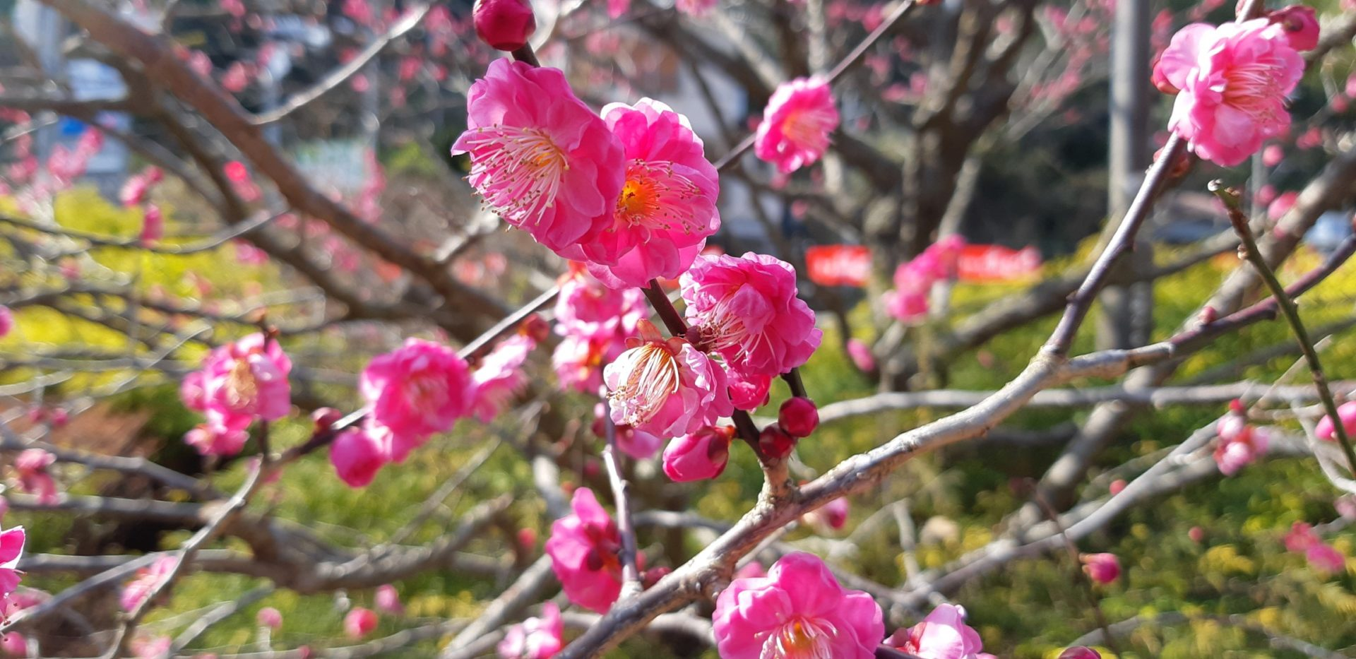 早咲き種が、そろそろ見ごろの『熱海梅園梅まつり』1月25日