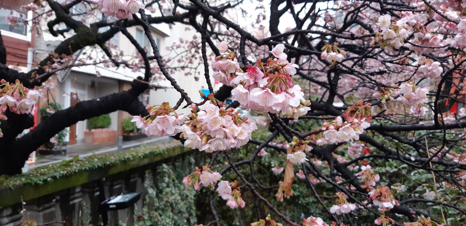 小雨の熱海温泉(1月26日)・・・・糸川のあたみ桜は、ピンクの色が増します。