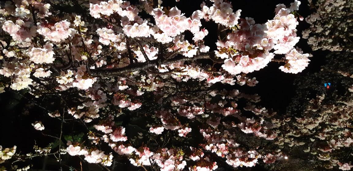 夜桜も幻想的です。~糸川遊歩道の『あたみ桜』